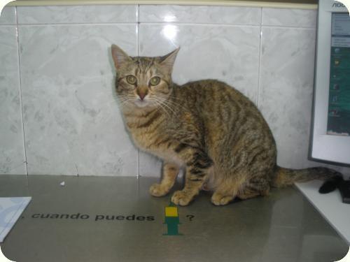 CLARA, gata atigrada de 1,5 años rescatada del contenedor A_1471273041552
