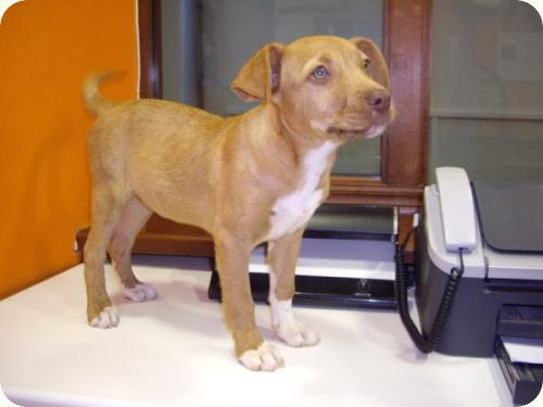 ADOPTADA: Troya, cachorrita de 3 meses en Novelda, parece cruce de ...