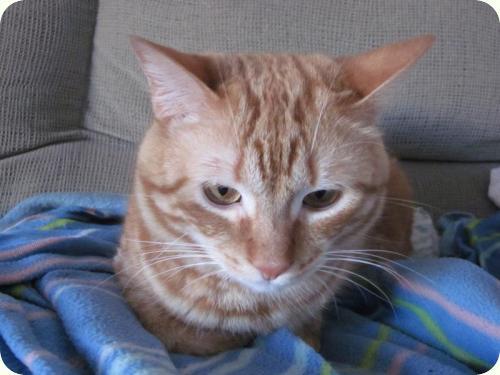 TOM y BETTY, gatos naranjas de 2 años. Su dueño los ha abandonado. Alicante. ADOPTADOS! A_4361299169058