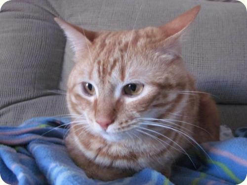 TOM y BETTY, gatos naranjas de 2 años. Su dueño los ha abandonado. Alicante. ADOPTADOS! A_4361299169065