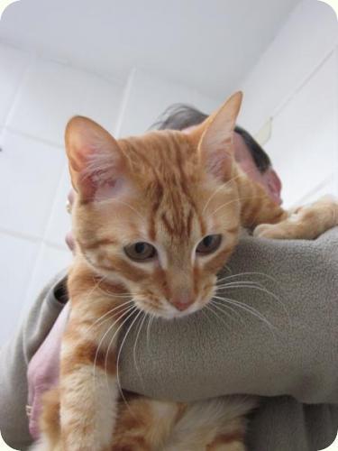 TOM y BETTY, gatos naranjas de 2 años. Su dueño los ha abandonado. Alicante. ADOPTADOS! A_4371299169360
