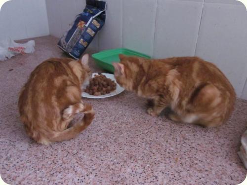 TOM y BETTY, gatos naranjas de 2 años. Su dueño los ha abandonado. Alicante. ADOPTADOS! A_4371299169368