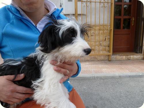 RAMBO, parece X de bichón. 7 meses. Tiene problemas de esfínteres. Alicante A_4451300173757