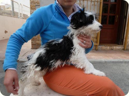 RAMBO, parece X de bichón. 7 meses. Tiene problemas de esfínteres. Alicante A_4451300173763