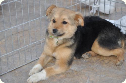 CHIQUI, cachorrita peque 5 meses, mini pastor aleman. ALICANTE A_4481302676695