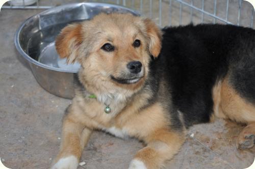 CHIQUI, cachorrita peque 5 meses, mini pastor aleman. ALICANTE A_4481302676703