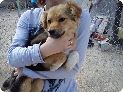 CHIQUI, cachorrita peque 5 meses, mini pastor aleman. ALICANTE A_4481303141792