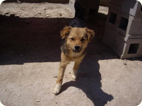 CHIQUI, cachorrita peque 5 meses, mini pastor aleman. ALICANTE A_4481303232148