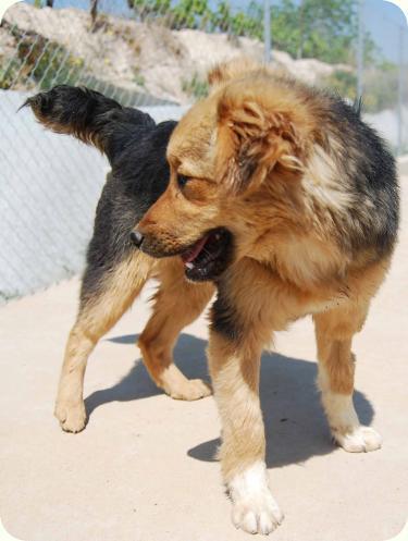 CHIQUI, cachorrita peque 5 meses, mini pastor aleman. ALICANTE A_4481304177227