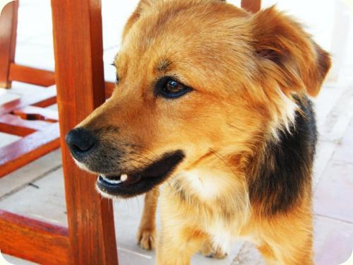 CHIQUI, cachorrita peque 5 meses, mini pastor aleman. ALICANTE A_4481313399695
