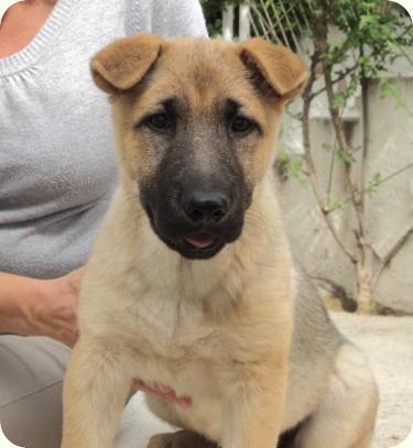 LOLA, 3 meses - cruce de Sharpei-Pastor Alemán - (Adoptados) | Perros ...