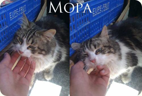 MOPA, X de persa de 2 añitos muy bueno. Alicante A_5491307602255