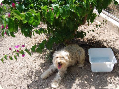 YUKI, parece X de perro de aguas blanca 1 año. Alicante A_5501307602919