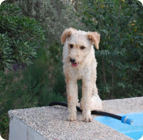 YUKI, parece X de perro de aguas blanca 1 año. Alicante A_5501314527842
