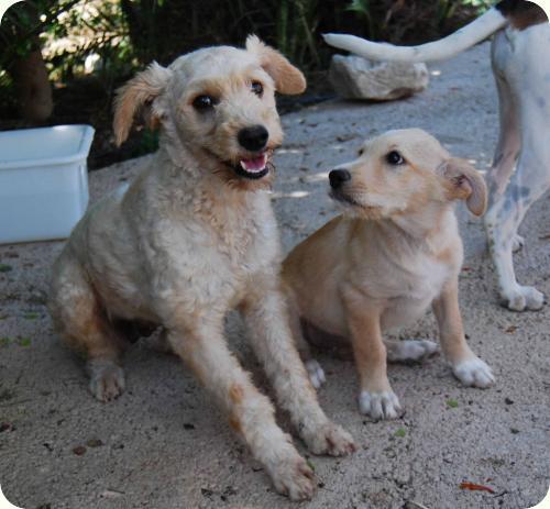 YUKI, parece X de perro de aguas blanca 1 año. Alicante A_5501314527877