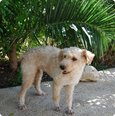 YUKI, parece X de perro de aguas blanca 1 año. Alicante A_5501315939637