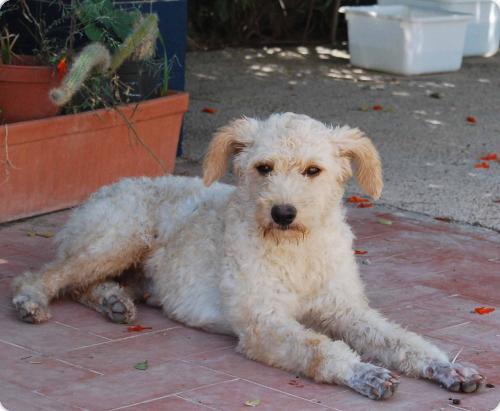 YUKI, parece X de perro de aguas blanca 1 año. Alicante A_5501315940400