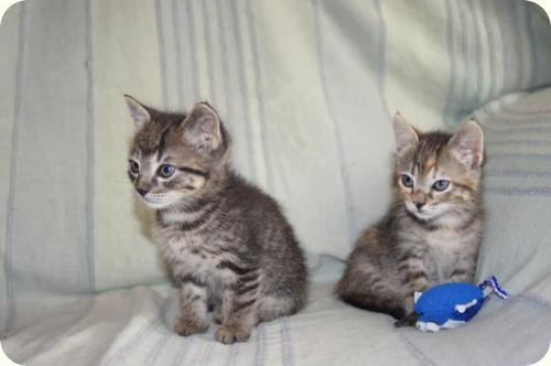 PIN y PON - tigrecitos de casi 2 meses en Alicante A_5541307689216