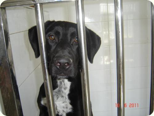 ROY, cruce de labrador negro de 1 año. Alicante A_5581307806819